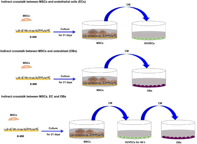 Osteoinductive Material to Fine-Tune Paracrine Crosstalk of Mesenchymal Stem Cells With Endothelial Cells and Osteoblasts.
